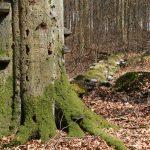 Buche in der Zerfallsphase – Lebensraum zahlreicher Arten (Foto: NLF)